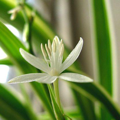 Photo Chlorophytum en fleur